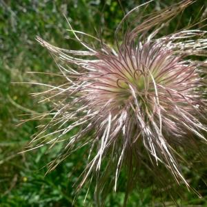 Photographie n°24319 du taxon Pulsatilla alpina subsp. apiifolia (Scop.) Nyman [1878]