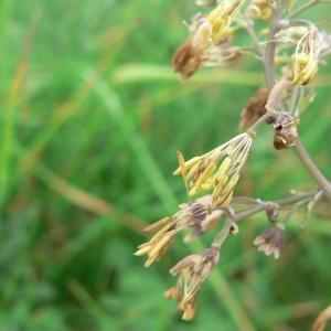 Thalictrum minus L. subsp. minus (Petit Pigamon)
