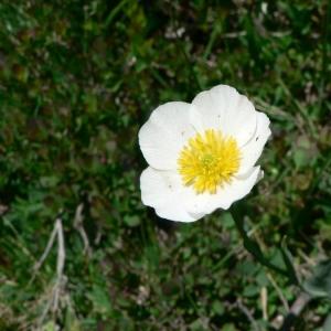 - Ranunculus amplexicaulis L. [1753]