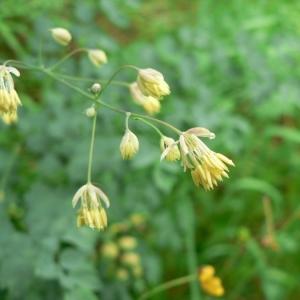 Thalictrum minus subsp. majus (Crantz) Hook.f. (Grand Pigamon)