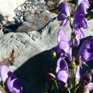 Aconitum willemetianum Delarbre (Aconit commun)