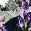 Mathieu MENAND - Aconitum napellus subsp. vulgare (DC.) Rouy & Foucaud [1893]