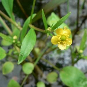 Photographie n°24344 du taxon Ranunculus ophioglossifolius Vill.