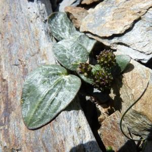 Photographie n°24349 du taxon Ranunculus parnassifolius L. [1753]