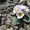 Mathieu MENAND - Ranunculus parnassifolius L. [1753]