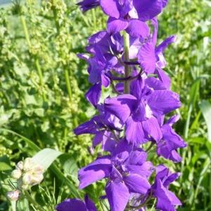 Delphinium orientale J.Gay (Dauphinelle d'Espagne)