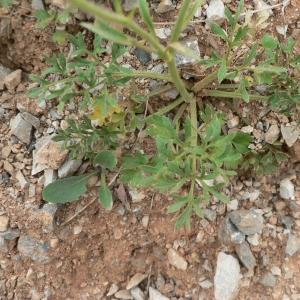 Photographie n°24362 du taxon Ranunculus paludosus Poir.