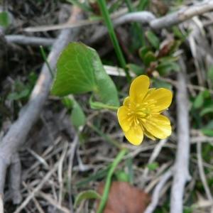 - Ranunculus thora L.