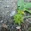 Mathieu MENAND - Ranunculus muricatus L. [1753]