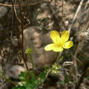 Photographie n°24379 du taxon Ranunculus sardous Crantz [1763]