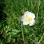 Mathieu MENAND - Ranunculus angustifolius DC. [1808]