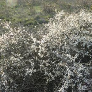 Photographie n°24427 du taxon Prunus spinosa L. [1753]