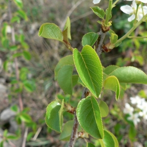 Photographie n°24430 du taxon Prunus mahaleb L.