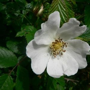Rosa deseglisei Boreau (Églantier de Déséglise)