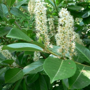 Photographie n°24452 du taxon Prunus laurocerasus L.