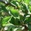 Mathieu MENAND - Pyrus pyraster subsp. achras (Wallr.) Stöhr [1977]
