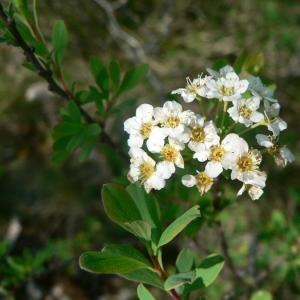 Photographie n°24478 du taxon Spiraea hypericifolia subsp. obovata (Waldst. & Kit. ex Willd.) H.Huber [1964]