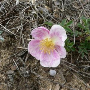 Photographie n°24493 du taxon Rosa pimpinellifolia L. [1759]