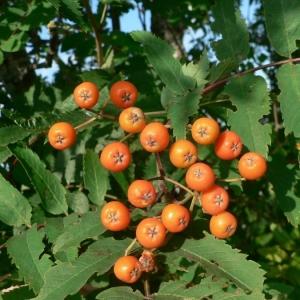 Photographie n°24495 du taxon Sorbus aucuparia L.