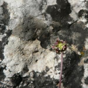 Photographie n°24496 du taxon Sanguisorba minor Scop.