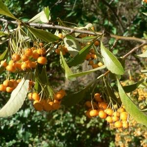 Photographie n°24497 du taxon Pyracantha pauciflora (Poir.) M.Roem. [1847]