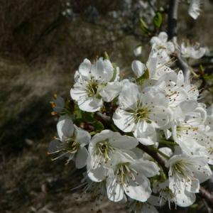Prunus cerasus L. (Cerisier acide)