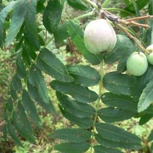 Photographie n°24531 du taxon Sorbus domestica L. [1753]
