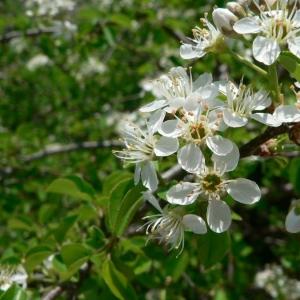 Photographie n°24533 du taxon Prunus mahaleb L.