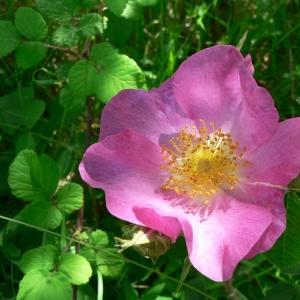 Photographie n°24537 du taxon Rosa gallica L.