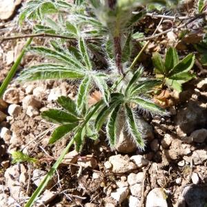 Photographie n°24544 du taxon Potentilla hirta L.