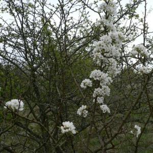 Photographie n°24548 du taxon Pyrus pyraster subsp. pyraster