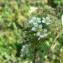 Mathieu MENAND - Spiraea hypericifolia subsp. obovata (Waldst. & Kit. ex Willd.) H.Huber [1964]
