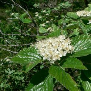Photographie n°24557 du taxon Sorbus aria (L.) Crantz