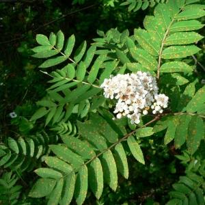 Photographie n°24559 du taxon Sorbus aucuparia L.