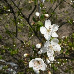 Photographie n°24560 du taxon Prunus cerasifera Ehrh.