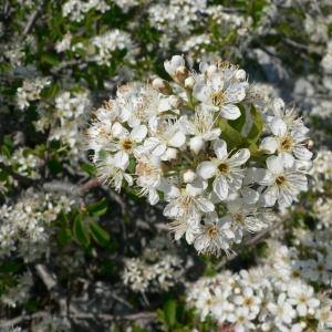 Photographie n°24572 du taxon Prunus mahaleb L.