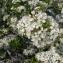 Mathieu MENAND - Prunus mahaleb L.
