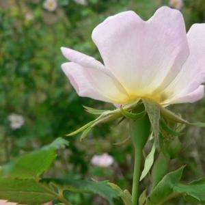Photographie n°24573 du taxon Rosa canina L.