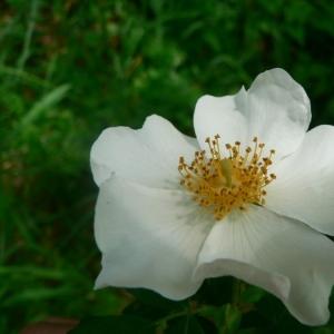 Photographie n°24582 du taxon Rosa arvensis Huds.