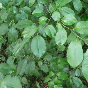 Photographie n°24588 du taxon Prunus avium (L.) L. [1755]