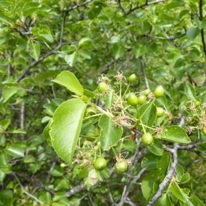 Photographie n°24595 du taxon Prunus mahaleb L.