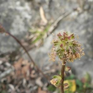 Photographie n°24604 du taxon Sanguisorba minor Scop.