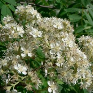 Photographie n°24610 du taxon Sorbus aucuparia L.