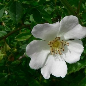 Rosa x andegavensis Bastard (Rosier d'Angers)
