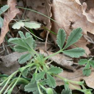Potentilla vivariensis Jord. (Potentille cendrée)