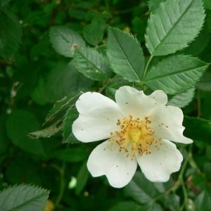 Photographie n°24624 du taxon Rosa stylosa Desv.