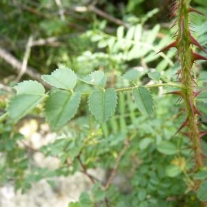 Photographie n°24625 du taxon Rosa pimpinellifolia L. [1759]