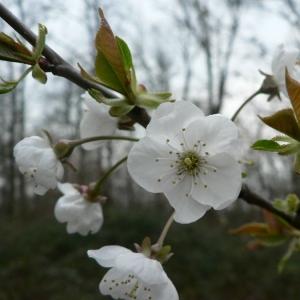 Photographie n°24636 du taxon Prunus avium (L.) L.