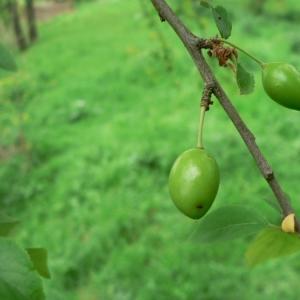 Photographie n°24660 du taxon Prunus cerasifera Ehrh.