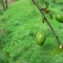 Mathieu MENAND - Prunus cerasifera Ehrh.